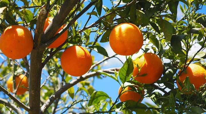 Naranjo con naranjas